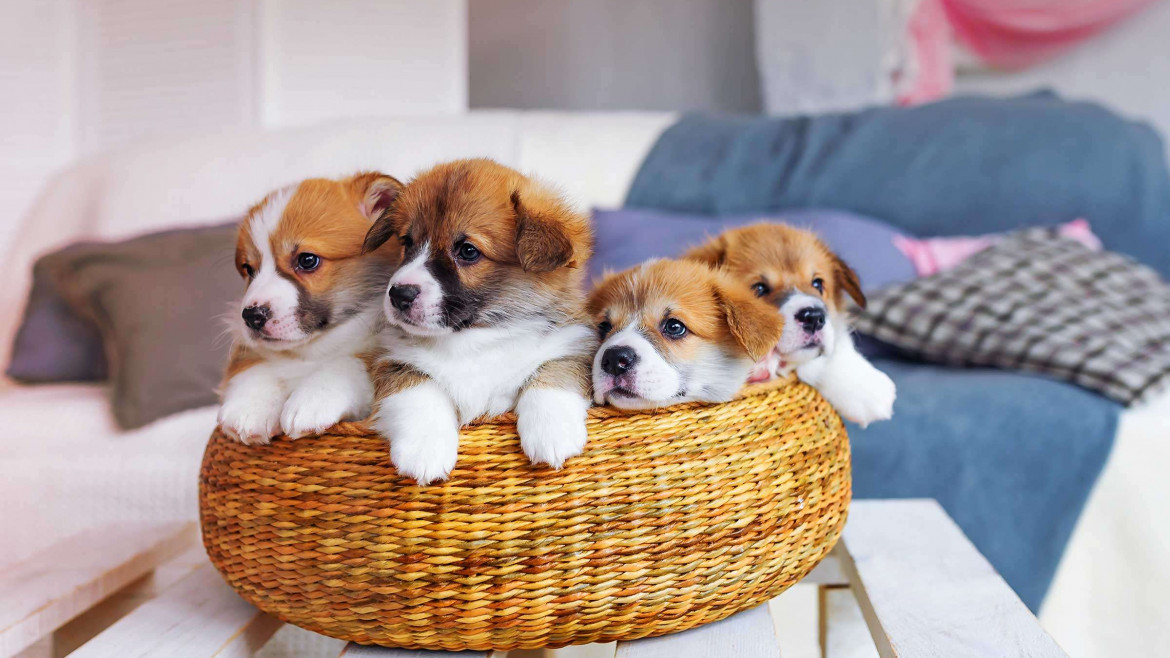 Pembrokeshire and Cardiganshire Puppies